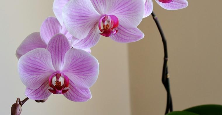 conseils-soins-fleur d'orchidée