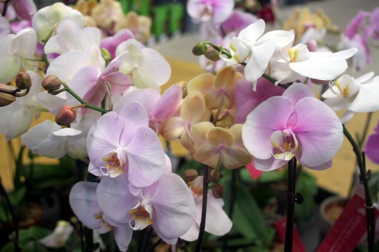 cultiver-fleurs-orchidées-conseils utiles