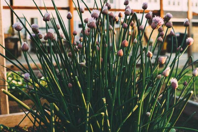 espèces de plantes ciboulette
