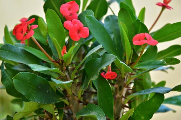 comment prendre soin de la maison-plantes-spina-de-christ