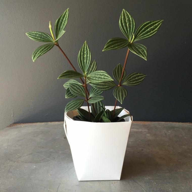 La culture des plantes à domicile-pepromia