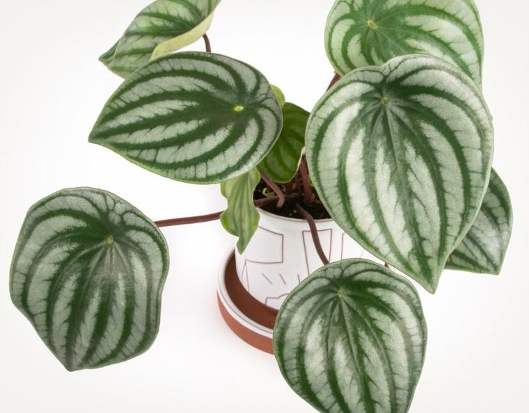 plantes succulentes-intérieurs-peperomina