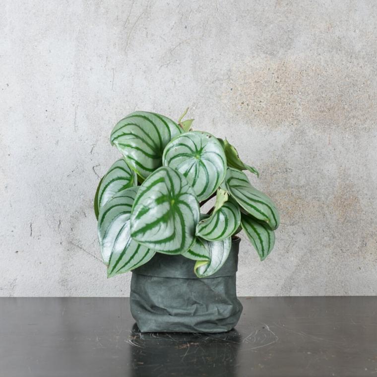 comment prendre soin des plantes-interiors-pepromia