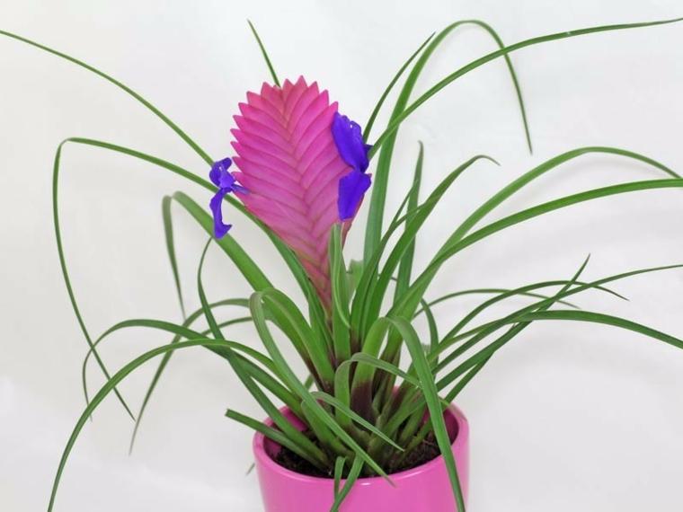 plantes aromatiques-intérieurs-tillandsia