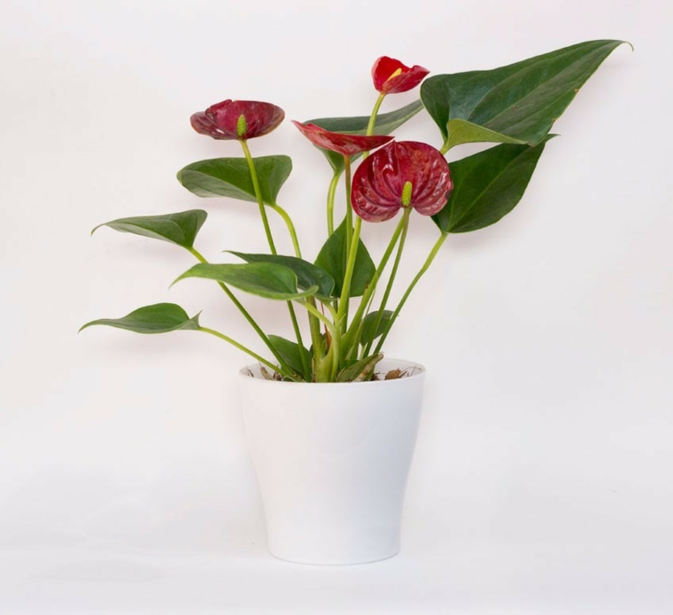plantes dintérieur-beautiful-anthurium