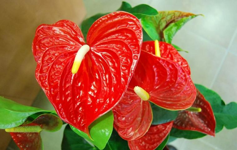 plantes d'intérieur-rouge anthurium
