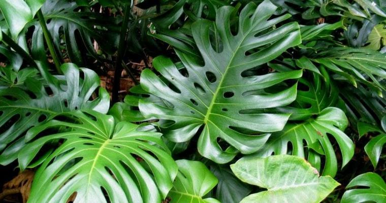 plantes d'intérieur-joli-rib-of-adan