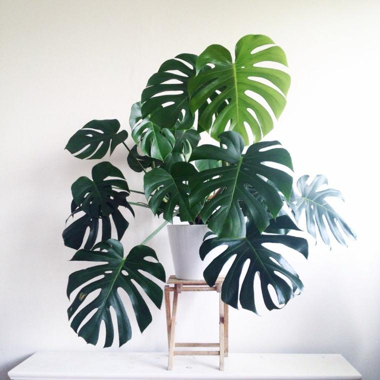 plantes d'intérieur-rib-de-adan