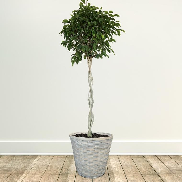 plantes d'intérieur-joli-ficus-benjamina