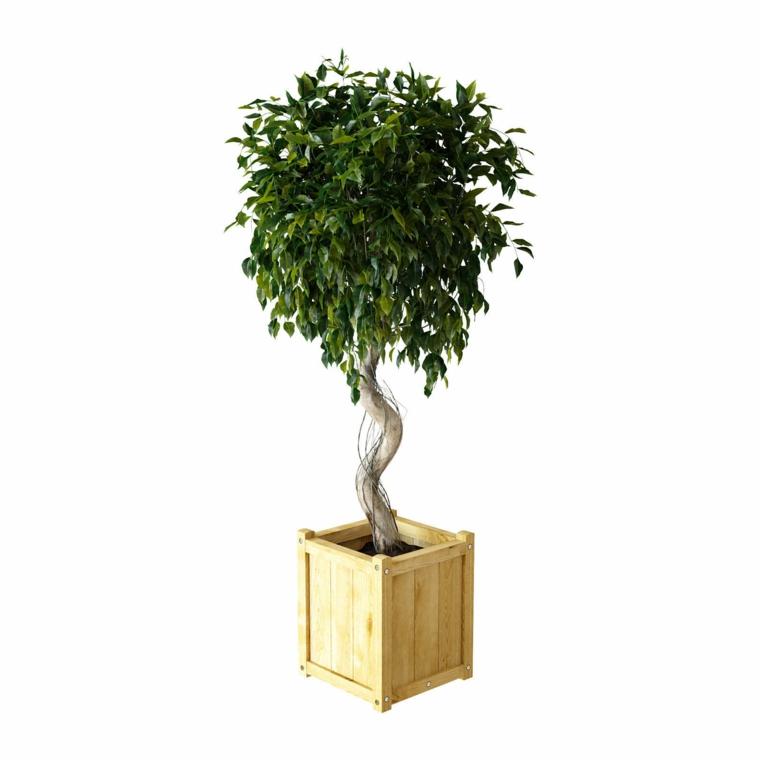 plantes d'intérieur-ficus-benjamina