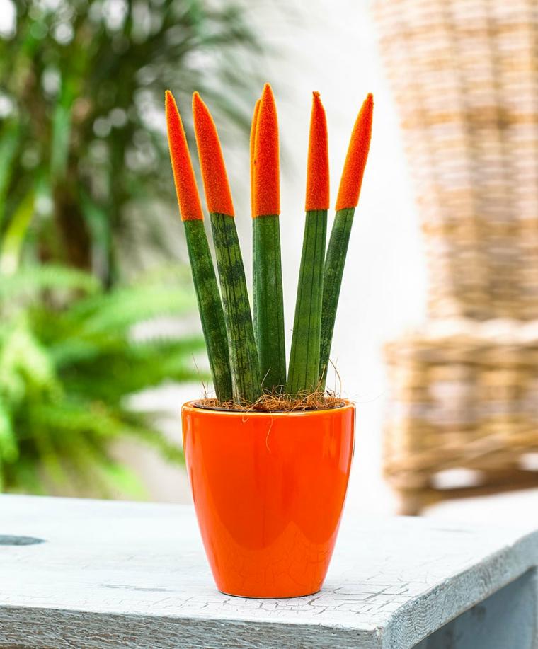 plantes d'intérieur-belle-sansevieria