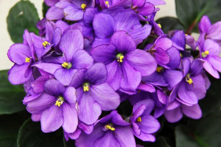 plantes d'intérieur-jolie-violette-africaine