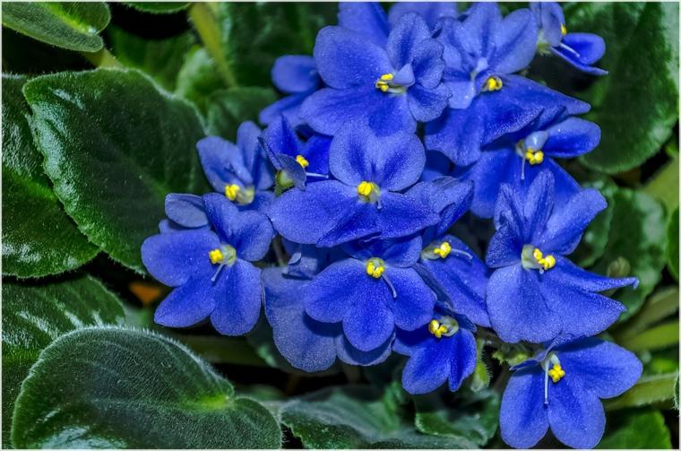 plantes-interieures-violettes-africaines