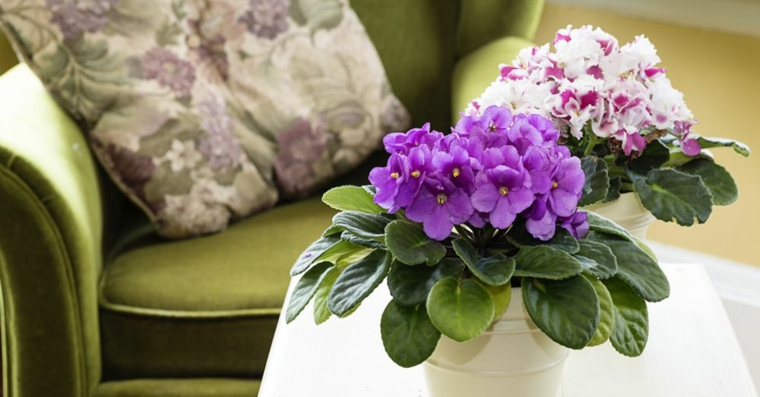 plantes africaines indoor-violet
