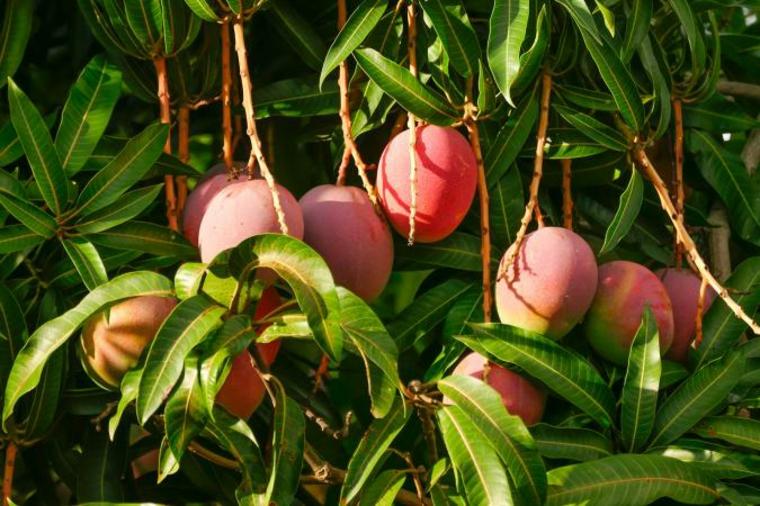 manger des mangues