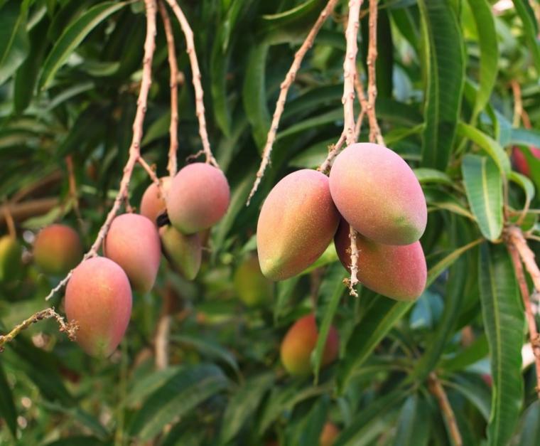Avantages de lingestion de mangue