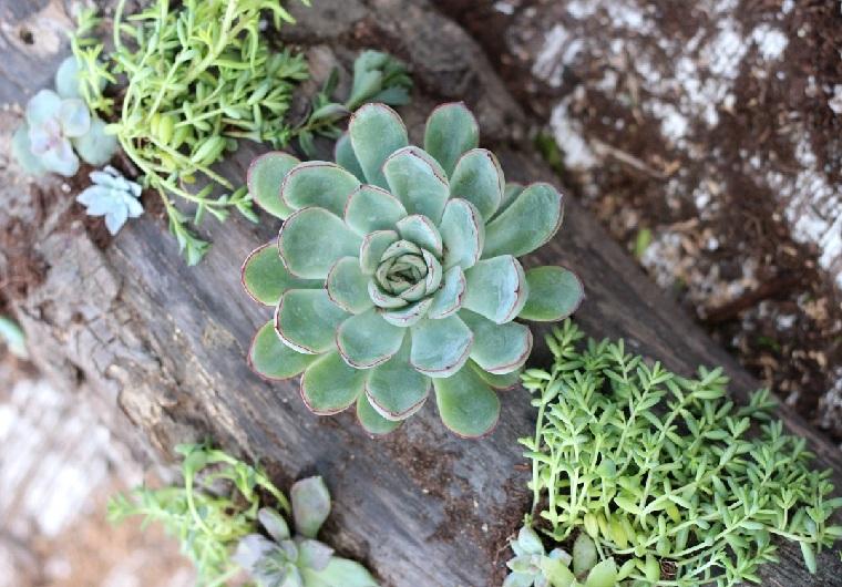 succulentes-plantes-bois-derive-idees