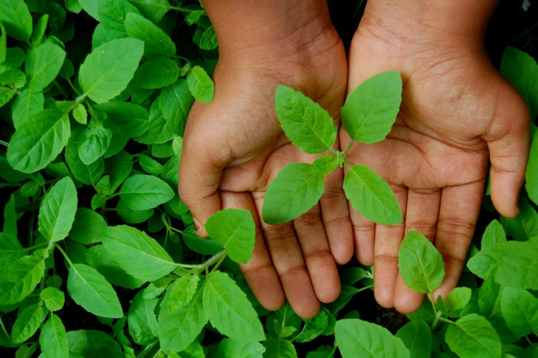 à quoi servent les feuilles de basilic?