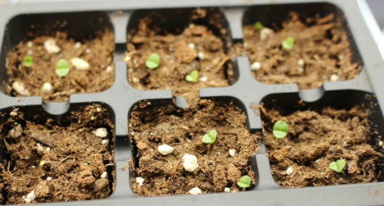 semis de basilic