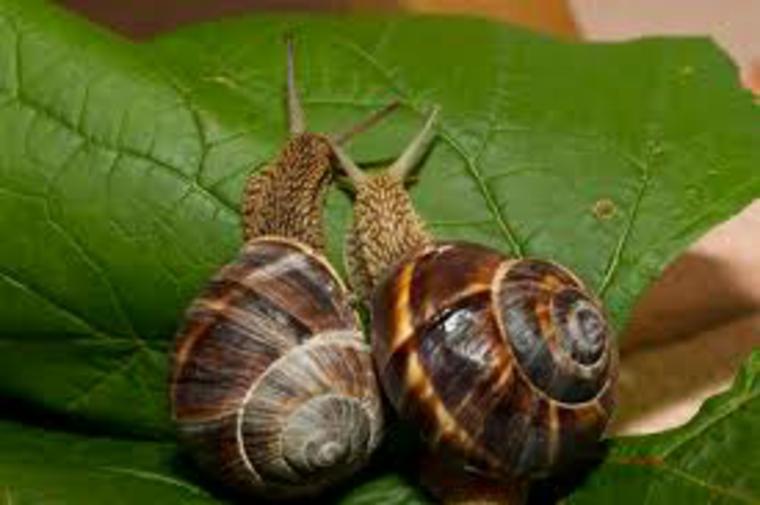 deux-escargots sur une feuille